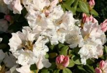 рододендрон в саду