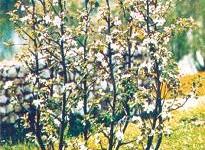 Канделябровая пальметта