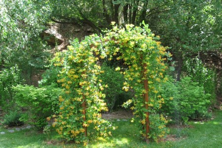 Растения для садовых декоративных лиан