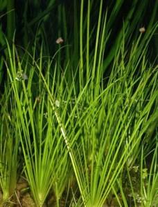 пример мелководных растений