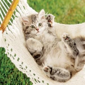 British Shorthair cat - kitten in hammock