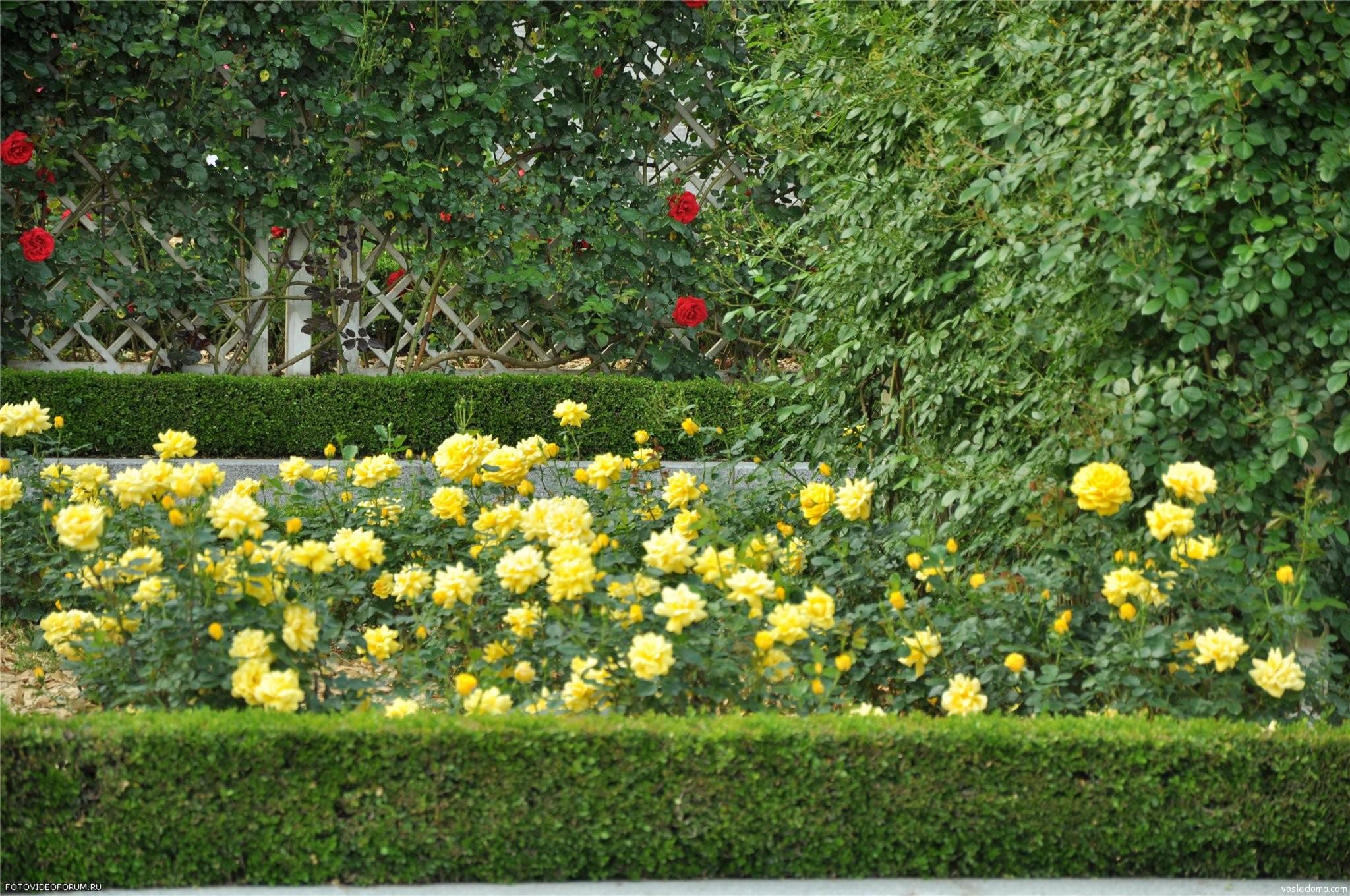 С какими цветами сажать лилии фото