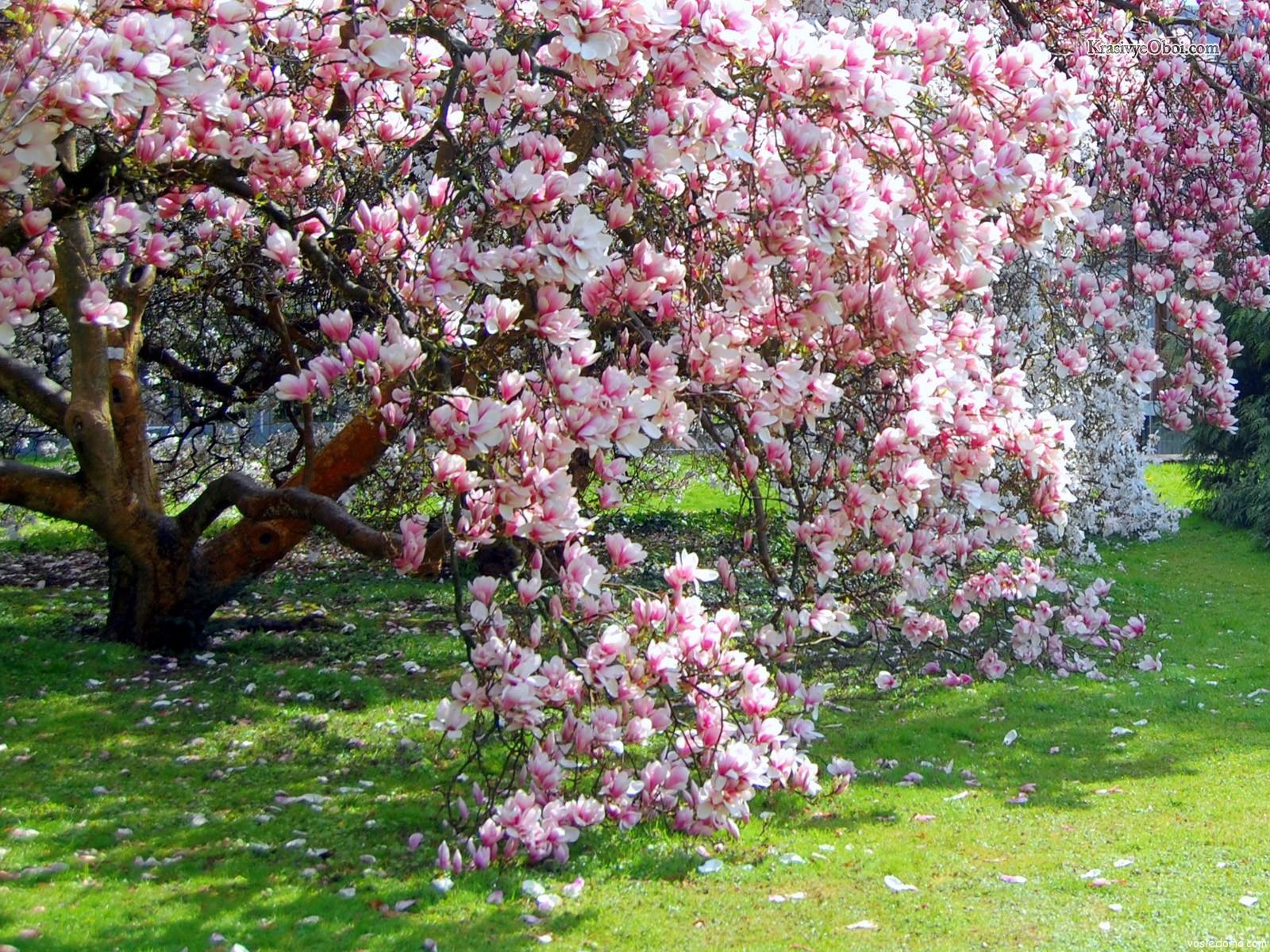 Дерево с крупными цветами 176