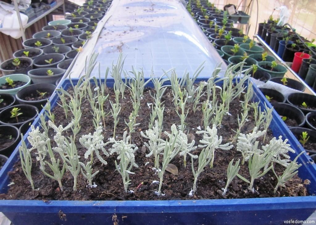 Как вырастить лаванду в домашних условиях семенами