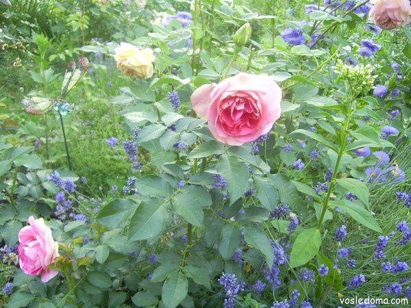 Лаванда хорошо сочетается с другими цветами