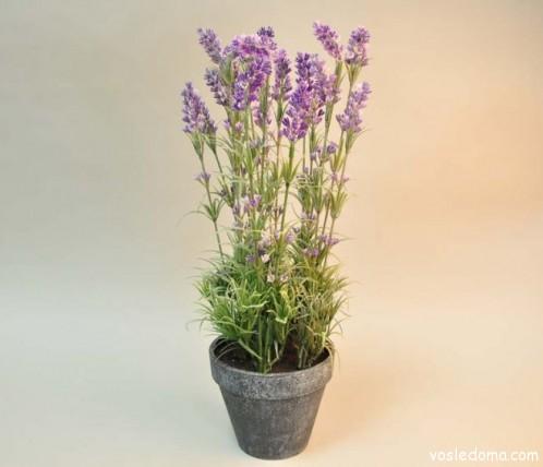 Лаванда красива и как горшочное растение