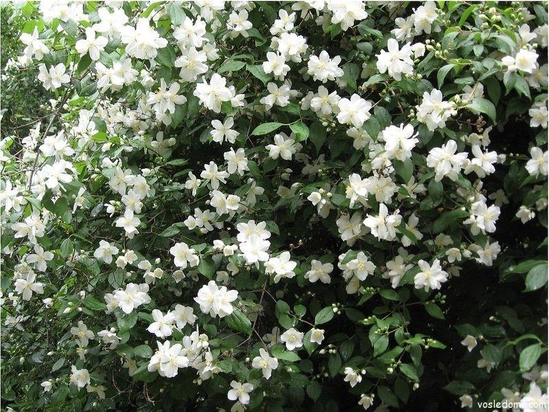 Цветёт чубушник красивыми белыми цветками
