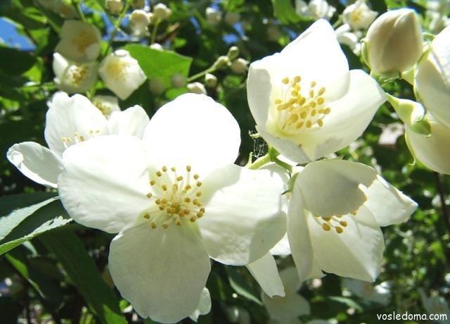 Цветки чубушника Шренка