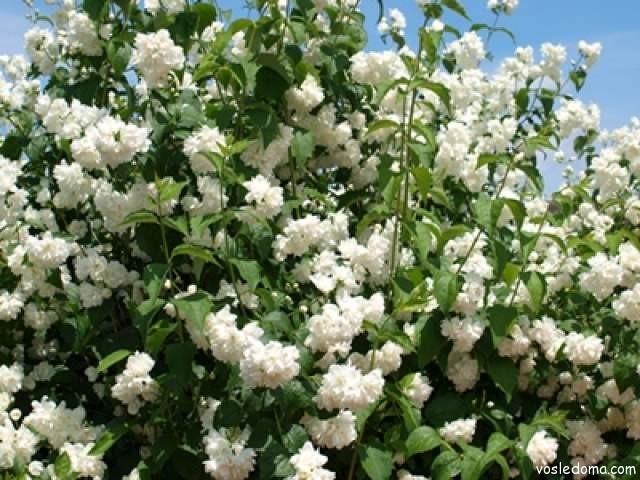 Цветки пушистого чубушника собраны в соцветия по 5-10 штук
