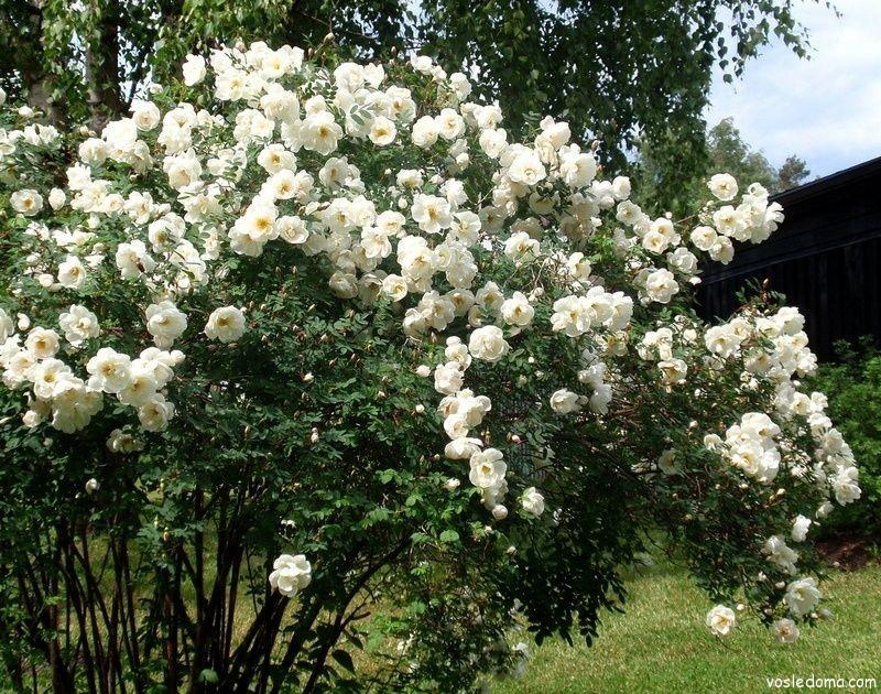 Белый шиповник в расцвете
