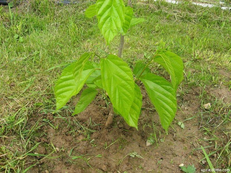 Шелковица дерево
