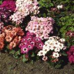 Секреты посадки Цинерарии в саду