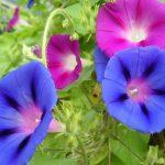 Ипомея — изящное украшение сада