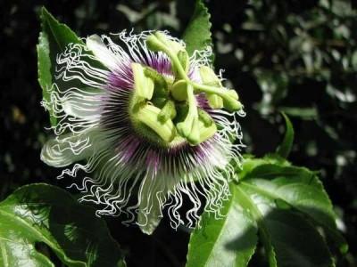 passiflora 3