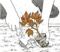 passiflora 5