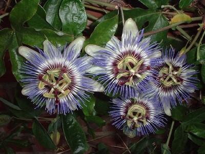 passiflora 7