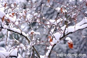 Вейгела – это теплолюбивый кустарник, в природе произрастающий в Восточной Азии и на юге Дальнего Востока