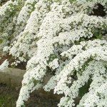 Спирея – украшение сада