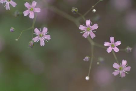 gipsofila rozovii prazdnik