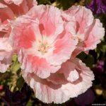 Годеция – страсть в цветке
