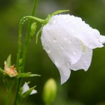 Колокольчик – цветок веры