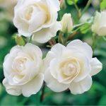 Снежная королева — белая роза