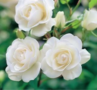 rozi 1