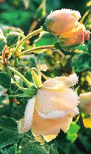 rozi 6