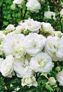 rozi 9