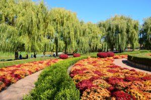 хризантема на клумбе