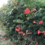 цветок текома посадка и уход