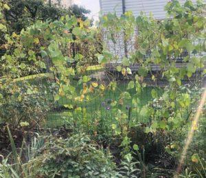 вид изгороди из фасоли в начале сентября