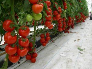 Как правильно проводить пасынкование томатов