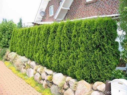 Живая изгородь — зелёный забор