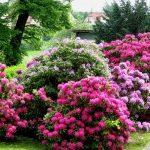 Посадка рододендронов в саду