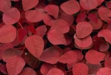 Растения с бордовой и красной листвой