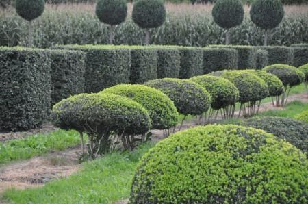 Живая изгородь: необходимость или украшение?