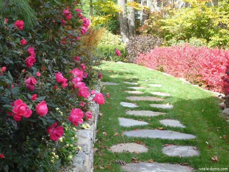 Бордюрные розы фото около дорожки фото