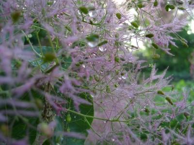 Скумпия – королева осени и весны