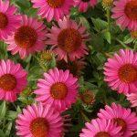 Многоликая красавица эхинацея — украшение вашего цветника