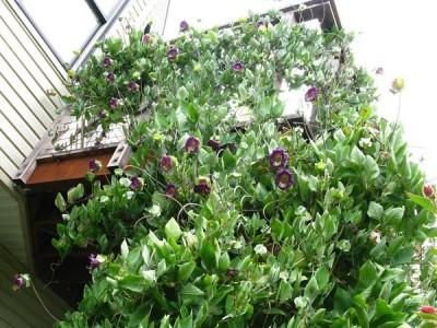 Кобея — красивое вьющееся растение