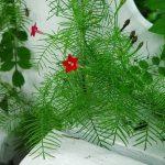 Квамоклит — кардинальская мантия для украшения клумбы