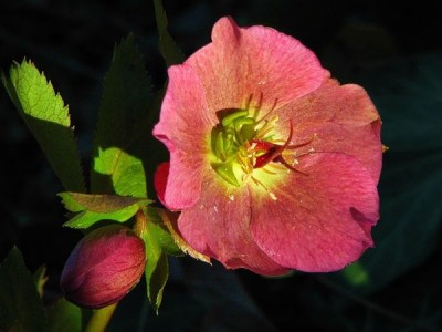 Морозник – украсит ваш сад зимой