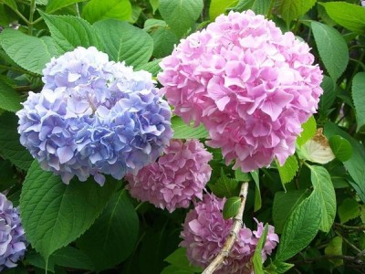 Гортензия – воздушный цветок, имеющий разноцветные «шапки»