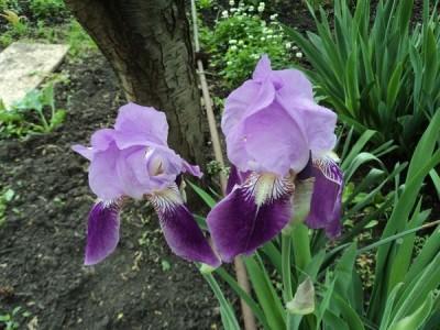 Ирисы – растения с необычайно нежными цветками разнообразных радужных окрасок