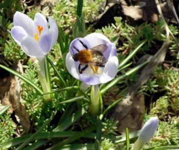 Крокусы – первые раноцветущие весенние цветы