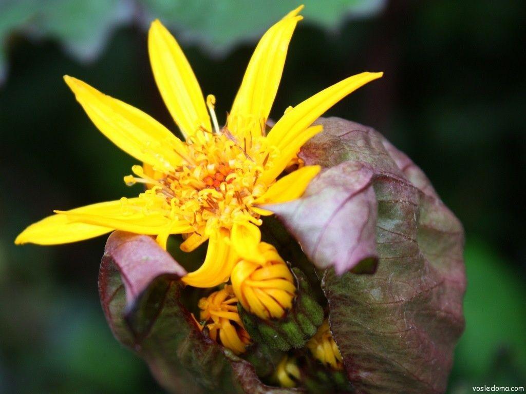 Бузульник – цветок огня