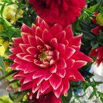 Георгины – застывшая красота сада