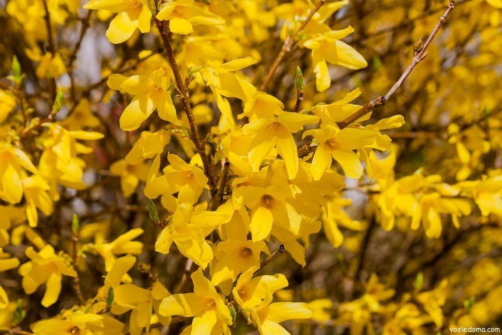 Форзиция, форсайтия – золото сада