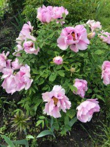 древовидный пион розовый